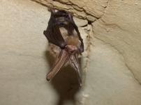 An eastern red bat naps.