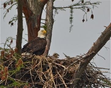 Audubon Wetlands - photo by Robbie Williams - bald eagle