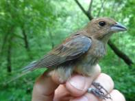 We first banded this little lady in May 2013 and recaptured her today. Indigo buntings are also neotropical migrants; they call Central America home in the winter.