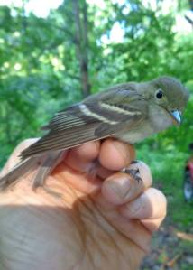 This Acadian flycatcher was also banded in 2013 in Franklin County and then recaptured today after wintering in South America!