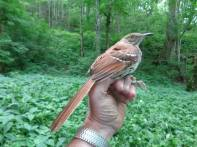 Brown thrashers are fairly common birds in much of Kentucky, but we rarely get such a good look at them!