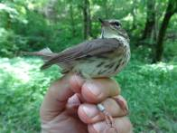 We caught this banded Louisiana waterthrush today in Franklin County on the Kentucky River. By looking at the band number, we can tell that he was banded in May 2013. This little fellow has flown to Central America and back over the winter, and come right back to the same creek! And you think you're tired.