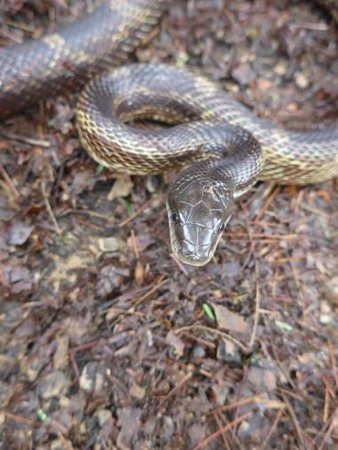 Black rat snake at Smith Watershed and Wildlife Conservation Area in Wolfe County.