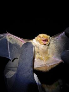 Red bat at Big Rivers Wildlife Management Areas in Crittenden County.