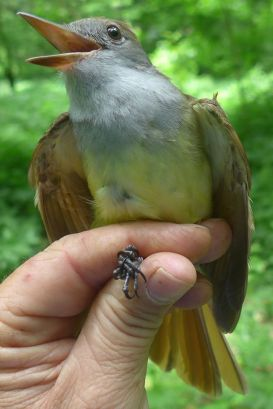 A great-crested flycatcher from the Franklin County bird-banding station on the Kentucky River. There might be other crested flycatchers, but they aren't nearly as great.