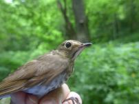 A Swainson's thrush from the Franklin County bird-banding station on the Kentucky River. This fellow is just passing through, headed north for the summer.