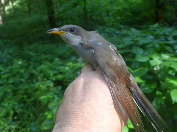 """This yellow-billed cuckoo was just banded by KHLCF biologists in Franklin County. West Coast populations of this bird are on the Federal Endangered Species list as """"Threatened"""". Help keep them common in Kentucky - protect forested habitat by buying your """"Nature's Finest"""" license plate!"""