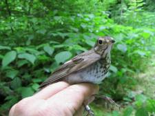 Swainson's thrush on the Kentucky River in Franklin County. These are fairly common migrants in wooded areas each spring - this male is passing through Kentucky on his way north.