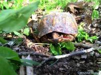 Box turtle at the Brigadoon State Nature Preserve in Barren County http://naturepreserves.ky.gov/naturepreserves/Pages/preserves.aspx.