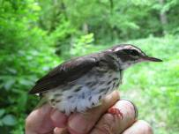Louisiana waterthrush on the Kentucky River in Franklin County. These little warblers are fairly common in forested riparian corridors throughout the Commonwealth, but their numbers are declining due to habitat loss here and in their Central American winter homes.