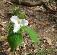 Photo by Zeb Weese. Brigadoon State Nature Preserve, large flowered trillium.