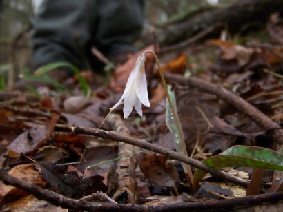 Photo by Zeb Weese. Morningview toothwort.