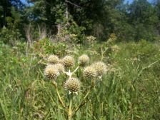 Photo by Zeb Weese. Rattlesnake Master.