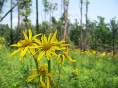 Photo by Zeb Weese. Silphium.