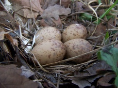 Photo by Zeb Weese. Woodcock nest.