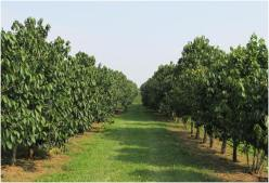 An orchard of pawpaw