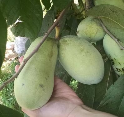 Pawpaws hang from a branch.
