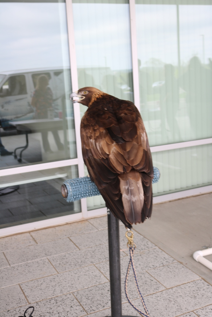 A Golden Eagle from the raptor display.