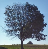 An ash with 50 percent damage that can be saved with treatment.