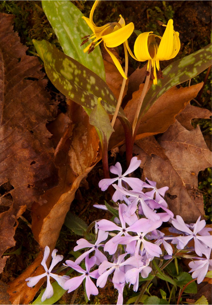 Trout lily and phlox at Camp Nelson. Photo by Thomas G. Barnes.
