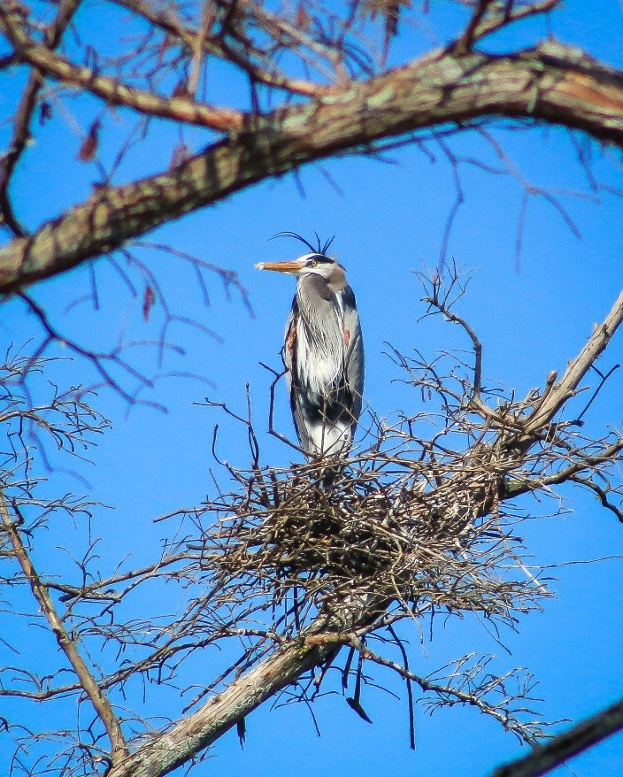 Chris Oelschlager's native Kentucky wildlife winning photo, 'Great Blue Heron.'