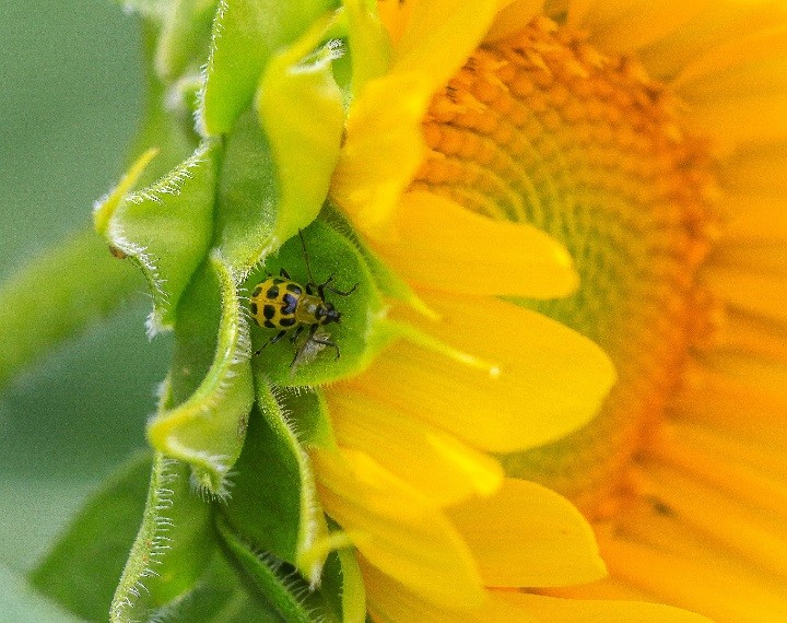 Chris Oelschlager's macrophotography/close-up winning photo, 'Spotted Cucumber Beetle on Sunflower