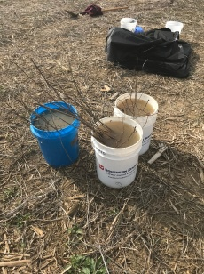 Tree seedlings were kept in buckets of water to keep the trees hydrated for planting.