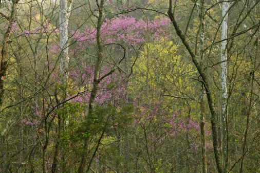 At Lincoln's Boyhood Home redbuds in bloom in a valley. Photo by Thomas G. Barnes.