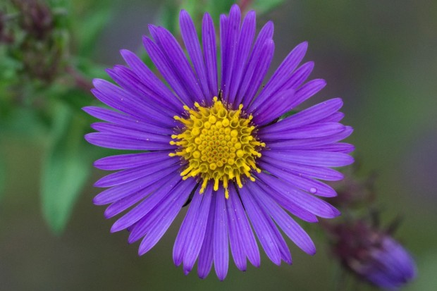Tyler Newman won the native Kentucky plants with his 'Purple Aster.'