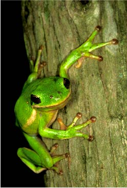 At St. Anne's Wetlands a green tree frog hangs out on land conserved by citizens of the Commonwealth. Photo by Thomas G. Barnes.
