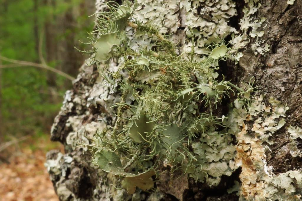 A linchen known as Usnea strigosa at Lucy Braun SNP by JeffNelson.