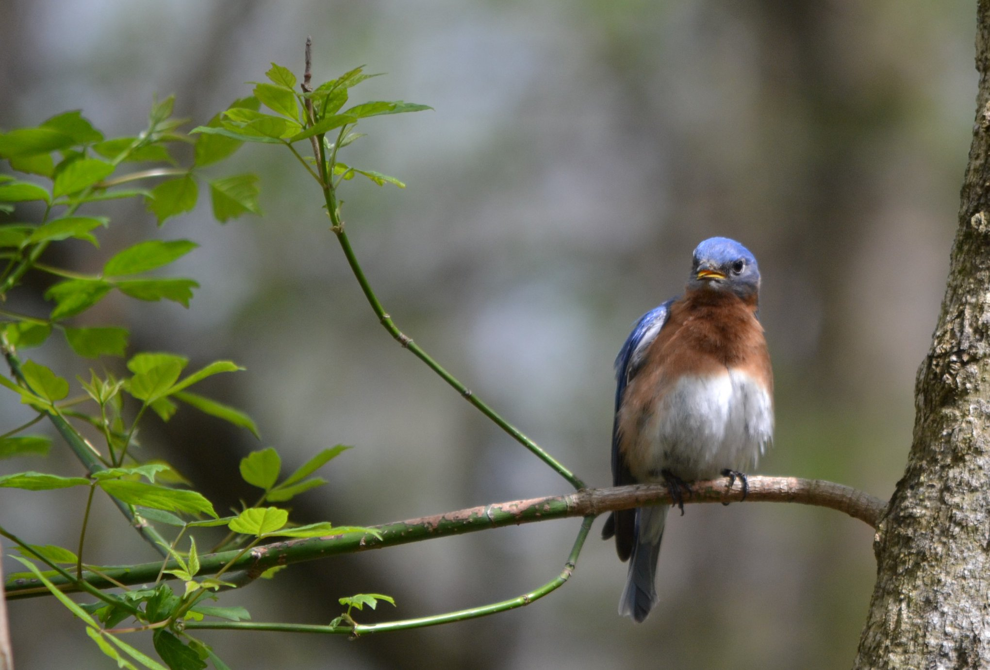 Beargrass Creek State Nature Preserve Eastern Bluebird by Jen DeLeeuw.