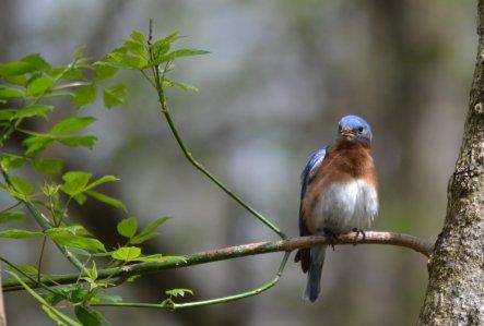 Beargrass Creek State Nature Preserve Eastern Bluebird by Jen DeLeeuw.