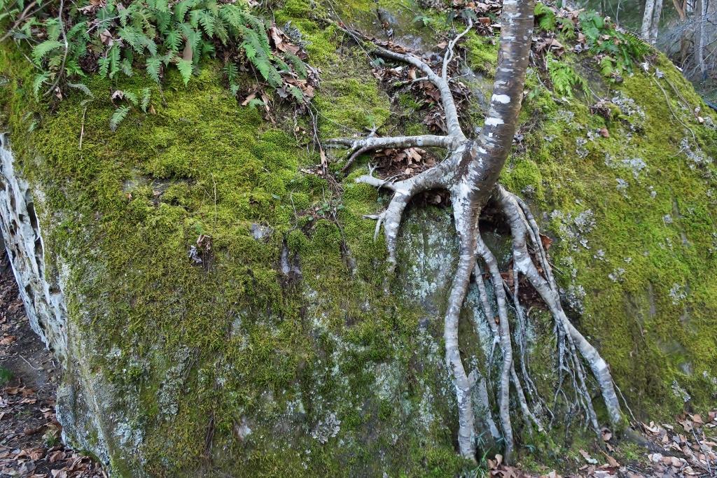 Black birch (Betula nigra), moss, and ferns at Lucy Braun SNP by JeffNelson.