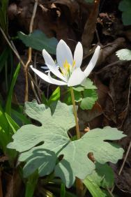 Bloodroot (Sanguinaria canadensis) at Lucy Braun SNP by Jeff Nelson.