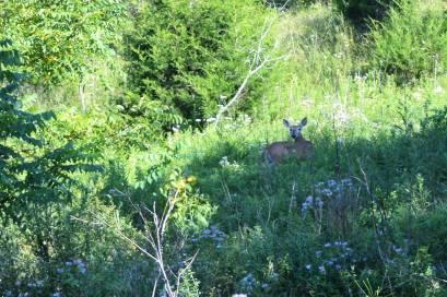 Quiet Trails doe.