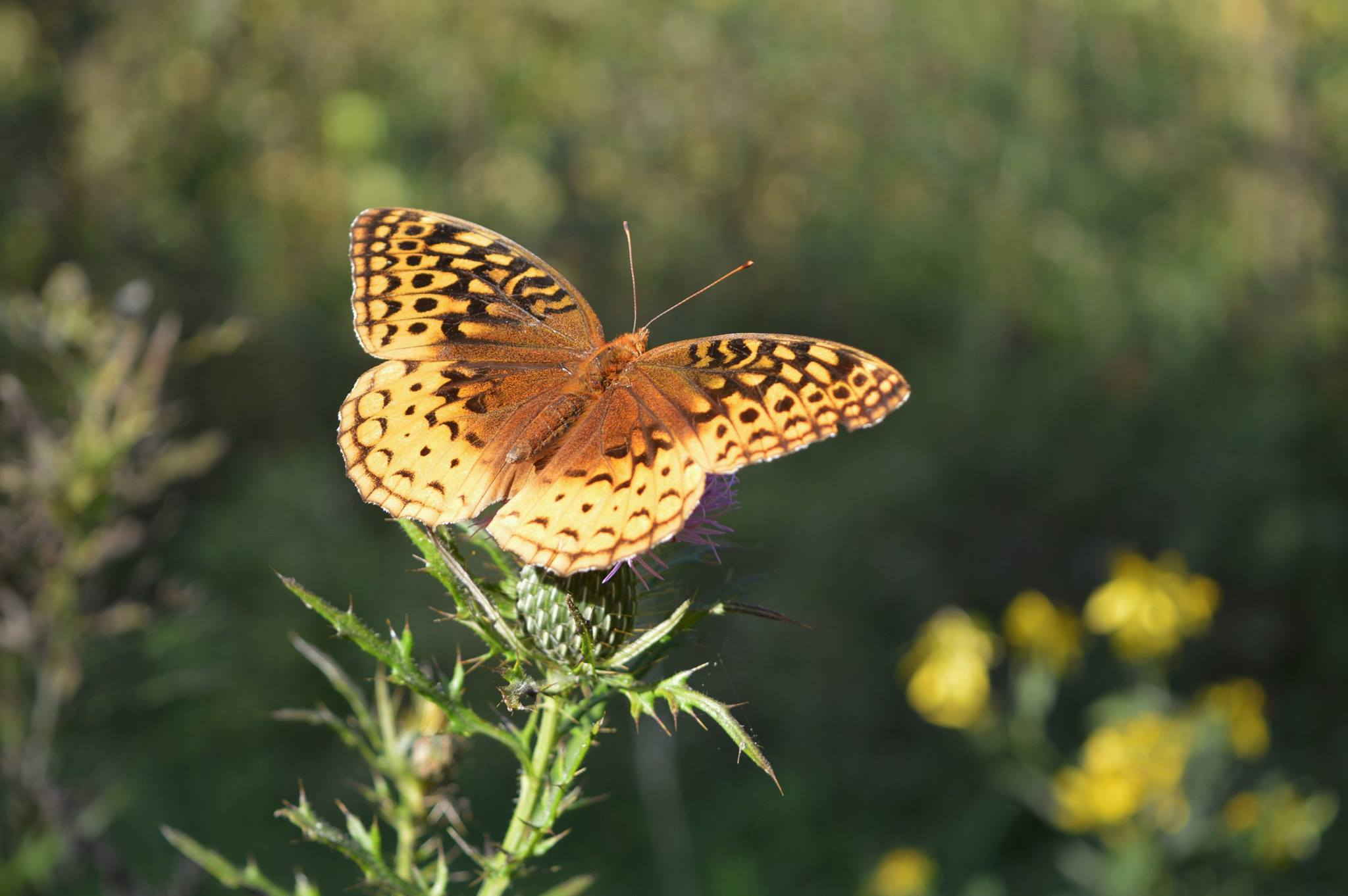 Quiet Trails Great Spangled Fritillary (Speyeriacybele).