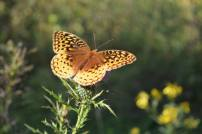 Quiet Trails Great Spangled Fritillary (Speyeria cybele).