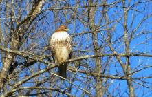 Quiet Trails Red Tailed Hawk.