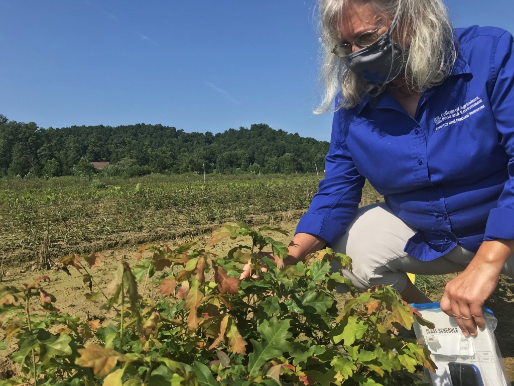 University of Kentucky Department of Forestry and Natural Resources Tree Improvement Specialist Laura DeWald inspects white oak seedlings for desirable genitive qualities.