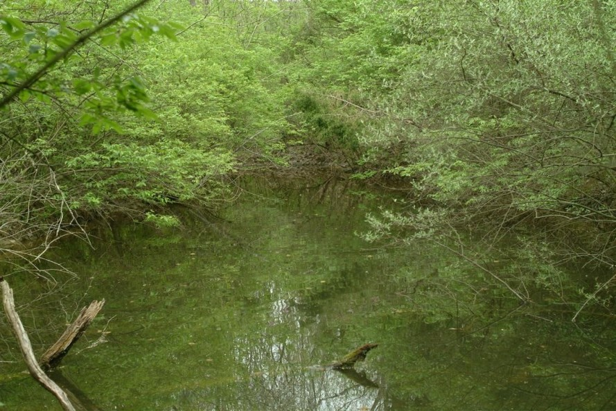 An ephemeral pond overtaken with Bush Honeysuckle.