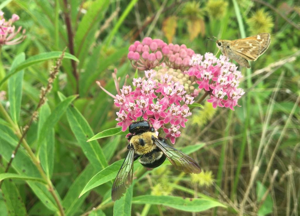Swamp milkweed attracts pollinators